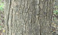 oritidoma cinzento, gretado e fendilhado longitudinalmente de oliveira-brava adulta- Olea maderensis