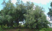 hábito de varios pés de oliveira-brava, oliveira-da-rocha, zambuzeiro, zambujeiro, oliveira-da-madeira - Olea maderensis