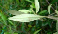 aspecto de páginas inferiores de oliveira-brava - Olea maderensis
