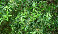 oliveira‑da‑rocha, zambujeiro, zambuzeiro, aspecto parcial com panículas em botão - Olea maderensis