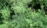 aspecto parcial da folhagem da oliveira-brava, oliveira‑da‑rocha, zambujeiro, zambuzeiro - Olea maderensis