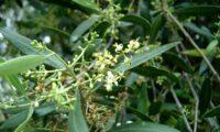 inflorescências de oliveira-brava - Olea maderensis