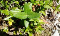 folhas juvenis de aderno com margens serradas - Phillyrea latifolia