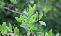 Phillyrea latifolia - Aderno (11)