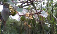 Phillyrea latifolia - Aderno (14)
