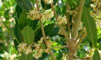 Phillyrea latifolia - Aderno (15)