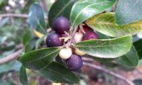 Phillyrea latifolia - Aderno (19)