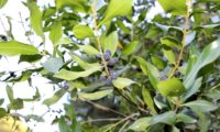 Phillyrea latifolia - Aderno (22)