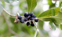 Phillyrea latifolia - Aderno (23)