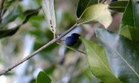 Phillyrea latifolia - Aderno (25)