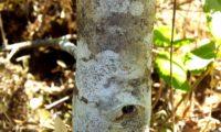 Phillyrea latifolia - Aderno (29)