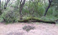 Phillyrea latifolia - Aderno (35)