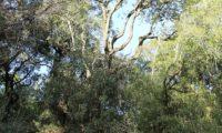 Phillyrea latifolia - Aderno (36)