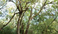 Phillyrea latifolia - Aderno (37)