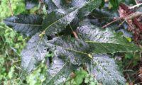 Phillyrea latifolia - Aderno (5)