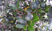 Phillyrea latifolia - Aderno (7)