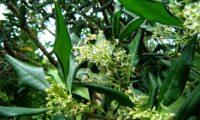 cachos de flores e de folhas com as margens revolutas de pau‑branco, branqueiro - Picconia excelsa