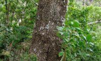 aspecto da casca fendilhada com sulcos de pau‑branco, branqueiro adulto- Picconia excelsa