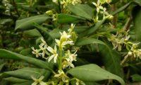ramalhetes de flores de pau‑branco, branqueiro - Picconia excelsa