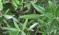 lentisco, aderno-de-folhas-estreitas - Phillyrea angustifolia (1)