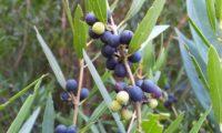 lentisco, aderno-de-folhas-estreitas - Phillyrea angustifolia (13)