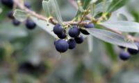 lentisco, aderno-de-folhas-estreitas - Phillyrea angustifolia (17)