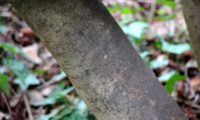 lentisco, aderno-de-folhas-estreitas - Phillyrea angustifolia (19)