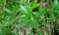 lentisco, aderno-de-folhas-estreitas - Phillyrea angustifolia (2)
