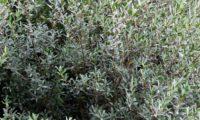 lentisco, aderno-de-folhas-estreitas - Phillyrea angustifolia (3)