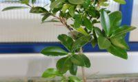 lustroso das páginas superiores de pau‑branco - Picconia azorica
