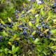 frutos maduros, anegradod de pau‑branco - Picconia azorica