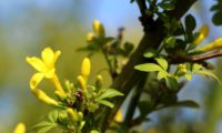 jasmineiro-do-campo - Jasminum fruticans (3)
