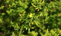 jasmineiro-do-campo - Jasminum fruticans (4)