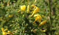 jasmineiro-do-campo - Jasminum fruticans (8)