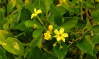 ramalhete de três flores amarelo intenso, cada com seis pétalas, cinco botões, uma baga translucida de jasmineiro-amarelo. Nesta imagem pode-se ver a forma das folhas trifoliadas deste jasmineiro, jasminum odoratissimum.