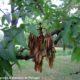 grupo de sâmaras em maturação, com gemas negro-aveludado et coroa de folhas na parte superior do raminho de freixo-europeu - Fraxinus excelsior