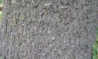 aspecto do tronco de um freixo-europeu maduro, a casca é muito espessa, pardo-acinzentada, rugosa, percorrida por um reticulado de fissuras longitudinais profundas e estreitas - Fraxinus excelsior