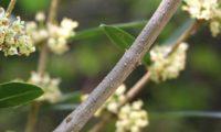 lentisco, aderno-de-folhas-estreitas - Phillyrea angustifolia